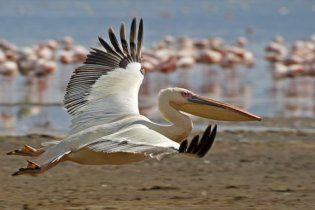 В Крым прилетели розовые пеликаны
