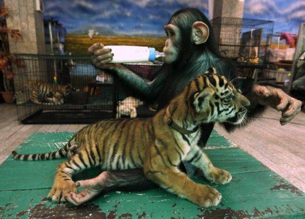 У Таїланді шимпанзе вигодовує тигренят