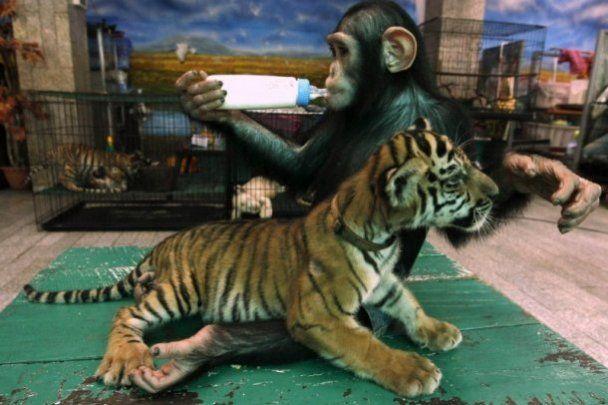 В Таиланде шимпанзе выкармливает тигрят