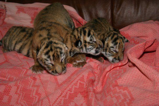 В Ялтинському зоопарку народилося трійко уссурійських тигренят