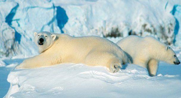 На Шпіцбергені білий ведмідь напав на табір, є жертви і постраждалі