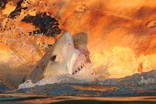 Зграя акул, гучно плямкаючи, розірвала на частини тушу кита (відео)