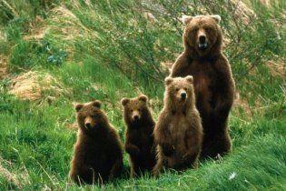 На Західній Україні голодні ведмеді крадуть корів