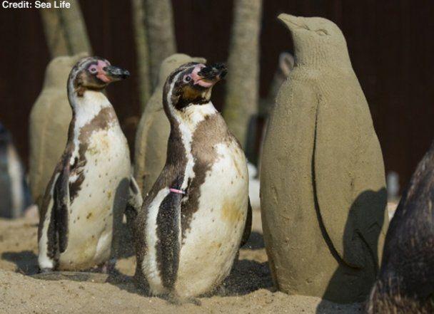 Одиноким пингвинам в Британии слепили друзей из песка