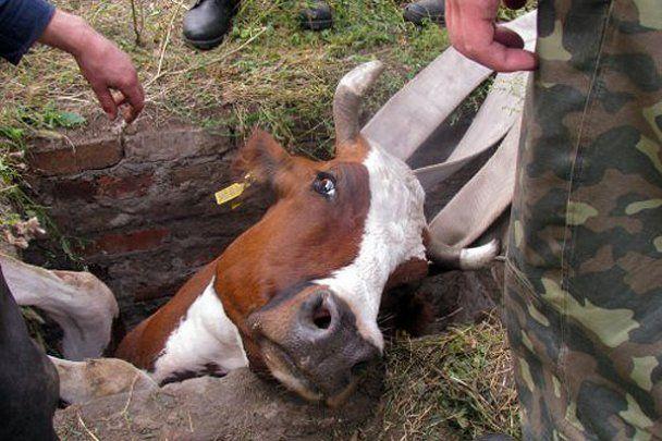 У Маріуполі пожежникам лише з 5-ї спроби вдалося витягти корову з колодязя