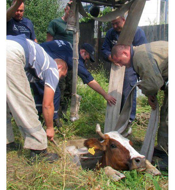У Маріуполі працівники МНС врятували корову Рябушку