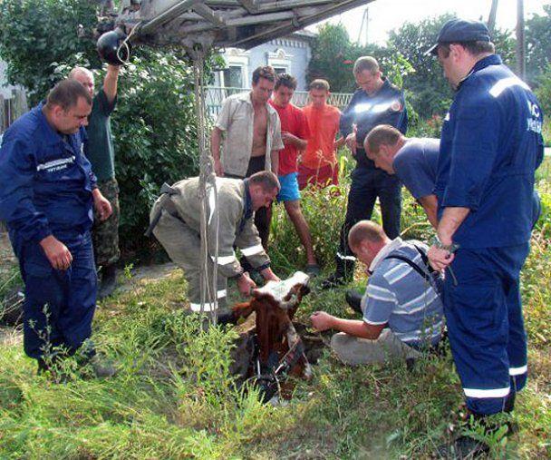 В Мариуполе сотрудники МЧС спасли корову Рябушку