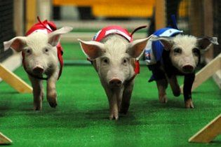 Ювілейні свинячі перегони стартували в Бразилії
