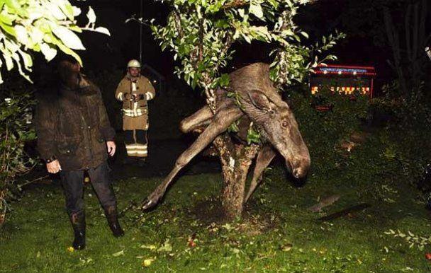 У Швеції п'яний лось видерся на яблуню