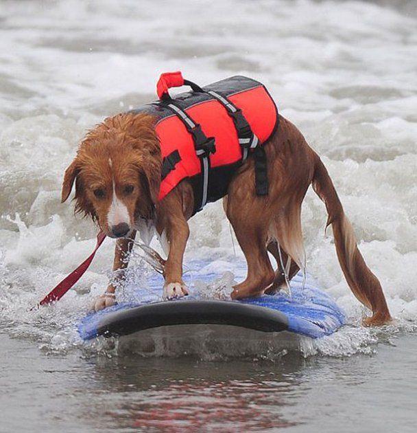 Отчаянные собаки-серфингисты преодолевают океанские волны