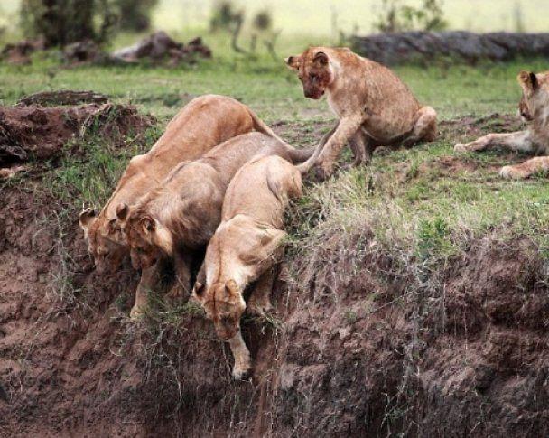 Відважна левиця врятувала своє дитинча з прірви