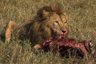 В зоопарке детеныша жирафа скормили льву на глазах детей