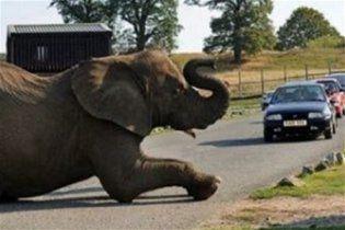 В Англии слон заснул на дороге и создал автомобильную пробку