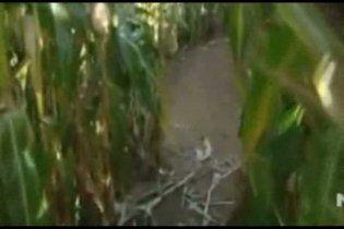 Сім'я заблукала на трьох гектарах кукурудзяного поля