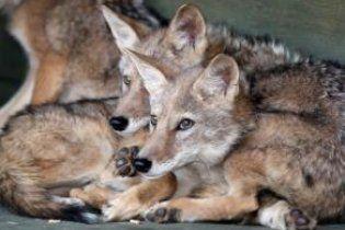 Южнокорейские ученые клонировали койота