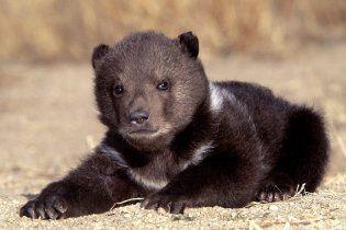 """Медвежонок зашел """"за покупками"""" в супермаркет на Аляске (видео)"""