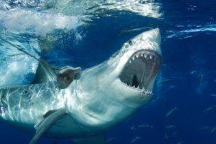 В Австралии открыли охоту на акулу-людоедку