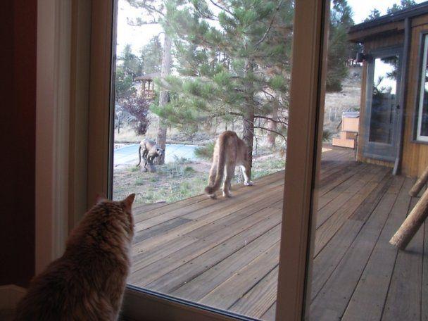 В США дикая пума пришла в гости к мейн-куну