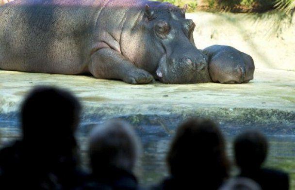 В Берлинском зоопарке родился бегемотик