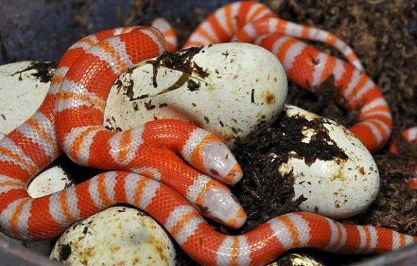 В США завелась двуглавая змея-альбинос