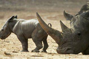 Браконьєри встановили рекорд за вбивством носорогів у Південній Африці