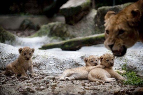 У колумбійському зоопарку народились троє левенят