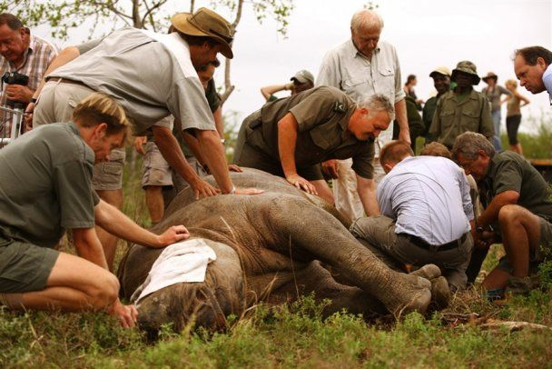 Носорога рятували на вертольоті догори ногами