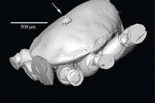 Биологи обнаружили древнейшее насекомое-автостопщика