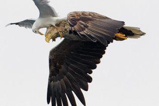 Чайка на льоту осідлала кремезного орла (фото)