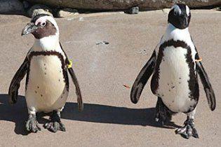 Закоханим пінгвінам-геям заборонили жити разом (відео)