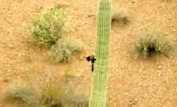 Испуганный кот просидел три дня на 6-метровом кактусе