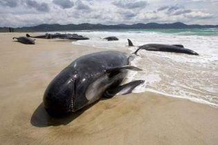 Десятки черных дельфинов выбросились на берег Новой Зеландии