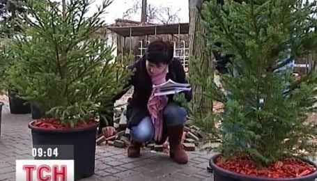 В Одессе елки сдают напрокат