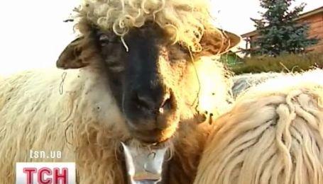 На Прикарпатье придумали овцетерапию