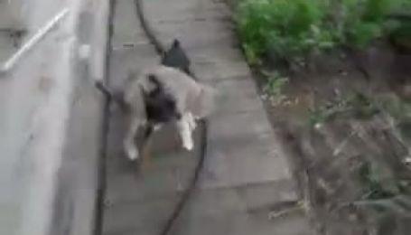 Маленький пес таскает здоровенного кота домой на плечах