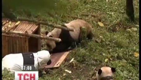 Китайці в костюмах панд вчать ведмедів лазити по деревах