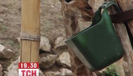 Зоопарк Будапешта снял рождения жирафа