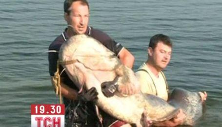 Словацькі рибалки спіймали гігантського сома