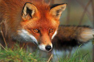 Вчені виявили, що стародавні люди їли кішок і лисиць