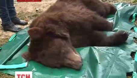 Пятилетняя медведица Маша будет жить в центре спасения медведей на Житомирщине