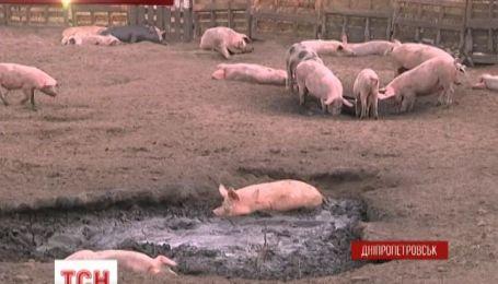 У Дніпропетровську підприємець облаштував свиноферму посеред міста