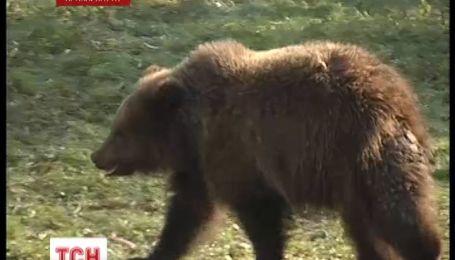 На Прикарпатті ведмідь розірвав пенсіонера на шматки
