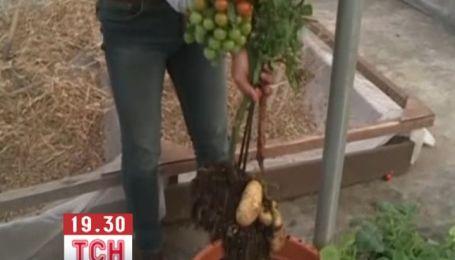 В Великобритании вырастили саженцы, на которых одновременно растут помидоры и картофель