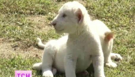 В зоопарке Сеула редкие львята впервые показали себя