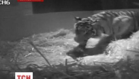 В Лондонском зоопарке, впервые за 17 лет, родился тигренок
