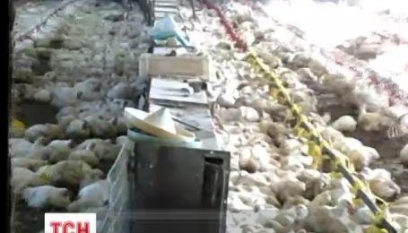 На Донбассе двадцать тысяч птиц выращивали без вакцинации и без документов