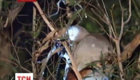 В Австралии коала пострадала от кроличьей ловушки