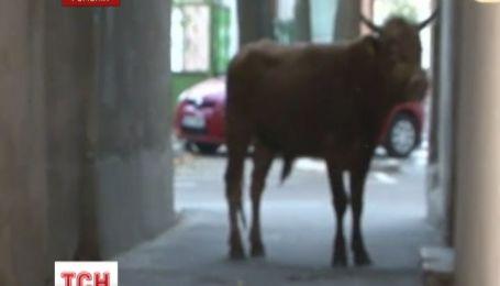 В Румынии 300-килограммовый бык пять часов терроризировал город