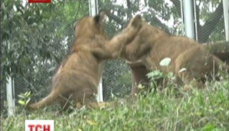 У китайському зоопарку п'ятеро левенят призвичаюються до життя у неволі