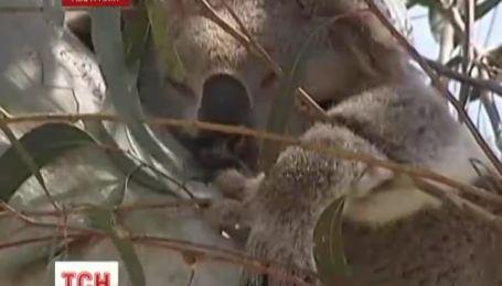 В Австралии взялись считать коал